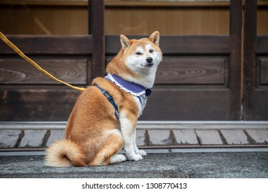The Shiba Inu is the smallest of the six original and distinct spitz breeds of dog native to Japan