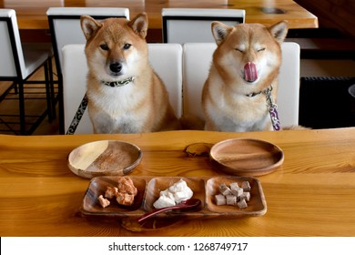 shiba inu wait for meal