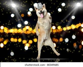 Shiba-inu dog in disco hat dance on her hind legs