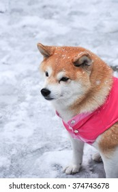 Shiba-inu : Japanese traditional dog in pink jacket sitting on snow
