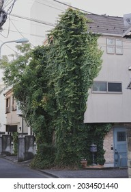 Shibuya, Tokyo  Japan January 31st 2021: Overgrown green monster of ivy on the facade of a house in a residential district in Shibuya by daytime.