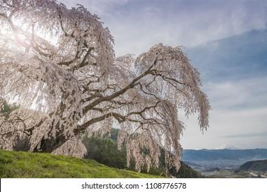 Shidare Sakura and Mountain Fuji at Yamanashi town. Shidara Sakura is Cherry blossom tree with drooping branches.