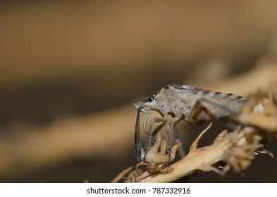Shield bug (Codophila varia). Cruz de Pajonales. Integral Natural Reserve of Inagua. Tejeda. Gran Canaria. Canary Islands. Spain.