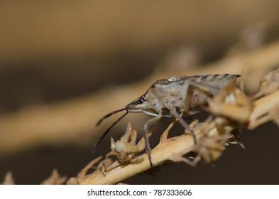 Shield bug (Codophila varia). Pajonales. Integral Natural Reserve of Inagua. Tejeda. Gran Canaria. Canary Islands. Spain.