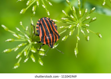The shield bug Graphosoma lineatum from the family Pentatomidae