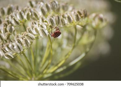 Shield bug Graphosoma lineatum - Italian striped bug, minstrel bug, black and red stripes shield bug - Marseille, France