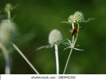 The shield bug, graphosoma lineatum, sits on a blue eringo bud, eryngium planum, in a meadow on a hot, sunny day. bright bug on a thorny plant, on a blurred green background