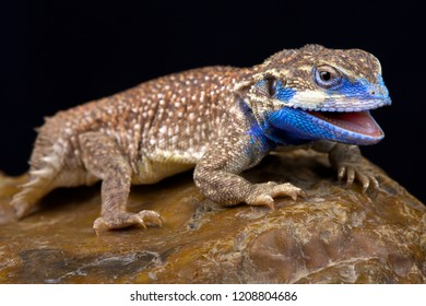 The Shield-tailed agama (Xenagama taylori) is endemic to the Horn of Africa. They have a unique tail that is used to block their burrows.