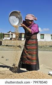 SHIGATSE - OCTOBER 14: Tibetan farmer works hard selecting good barley on October 14, 2010 in Shigatse. Many Tibetans depend on barley and selling barley is their main income source (annual 800 USD)