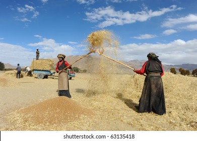SHIGATSE - OCTOBER 14: Tibetan farmers work hard threshing grain on October 14, 2010 in Shigatse. Farmers have to do this to survive the cold winter months