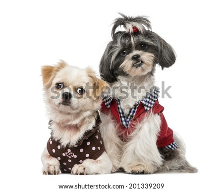 Shih Tzu 1 Year Old Crossbreed Stock Photo Edit Now 201339209