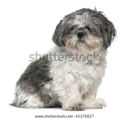 Shih Tzu 1 Year Old Sitting Stock Photo Edit Now 65276827