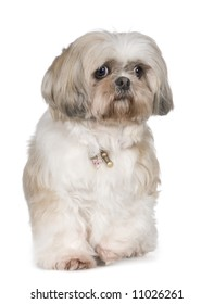 Shih Tzu (11 years) in front of a white background