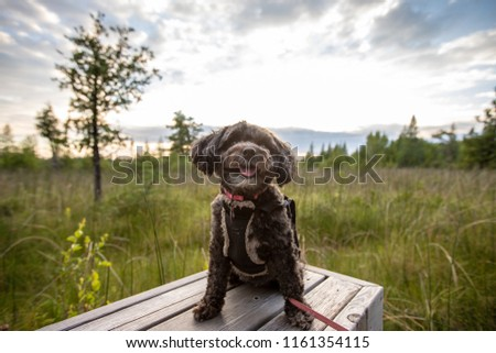 Shih Tzu Bichon Frise Dog Manitoba Stock Photo Edit Now 1161354115