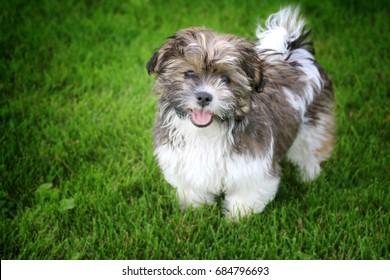 Shih Tzu Bichon Frise Mix Breed Puppy in Grass