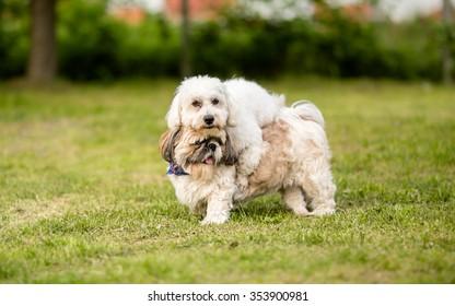 Shih tzu and Coton de Tulear best dog friends