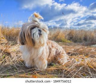 shih tzu dog in a field of grass