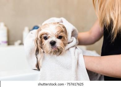 Shih Tzu dog at grooming salon having bath.