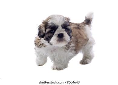 shih tzu dog isolated on a white background