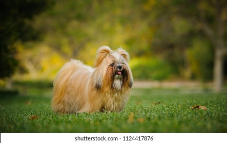 Shih Tzu dog with long groomed hair, outdoor portrait in grass