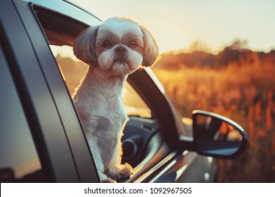 Shih tzu dog looking out of car window at sunset light