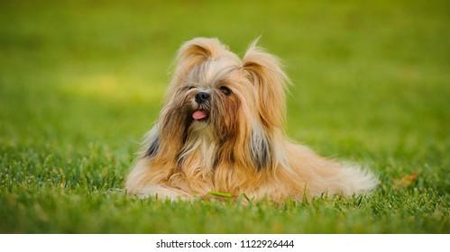 Shih Tzu dog lying down in park grass