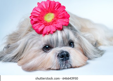 Shih tzu dog lying with flower decoration. Relaxing and spa concept.