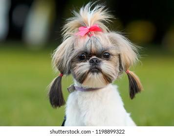 Shih Tzu dog on autumn walk