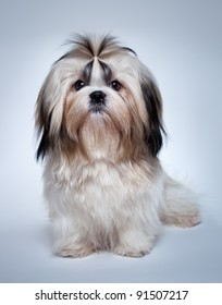 Shih tzu dog on grey background.