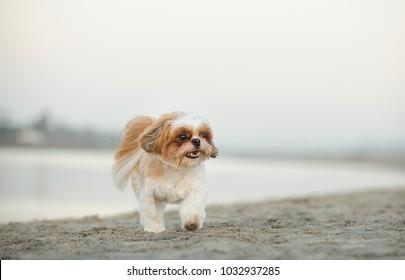 Shih Tzu dog outdoor portrait walking on beach