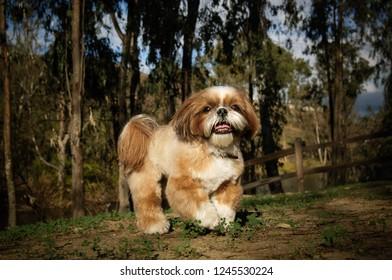 Shih Tzu dog portrait in nature
