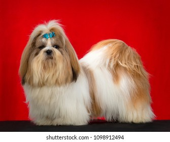 Shih Tzu dog portrait, standing side profile, isolated on red background, in studio.