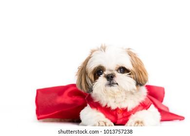 Shih Tzu dog sitting and looking away ,Isolated on white background