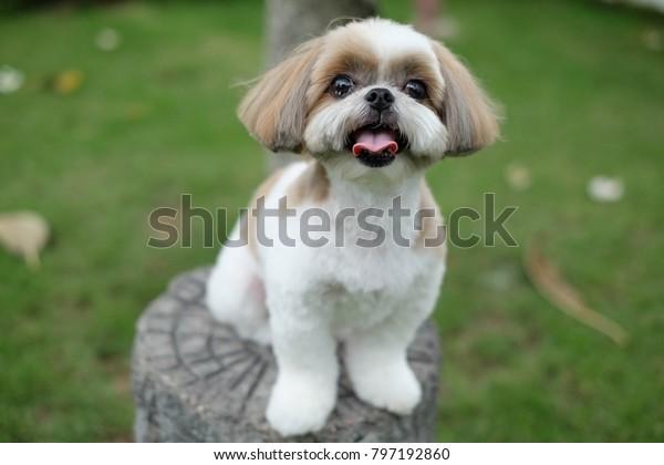 shih tzu dog with sitting pose on playground