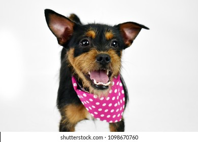 Shih Tzu dog smiling, girl puppy, small, tiny, isolated white background in studio, overbite, brown black