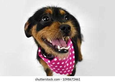Shih Tzu dog smiling, girl puppy, small, tiny, isolated white background in studio, overbite, underbite, brown black