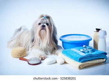 Shih tzu dog washing concept. Portrait with comb, towels and soap. On white and blue background.