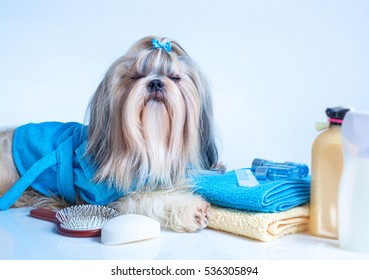 Shih tzu dog washing concept. Portrait with comb, towels and soap. On white and blue background. Dog relaxing and clothing eyes.