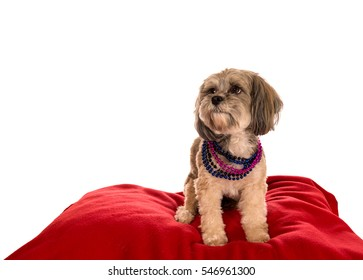 Shih Tzu dog wearing colorful beads sitting on a red pillow isolated on a white background. Room for text. Valentine Dog.