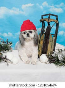 A shih Tzu dog wearing a red toque sits in the snow next to a sled