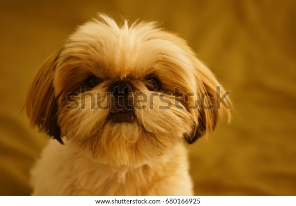 Shih Tzu Face Young Haircut Style Stock Photo Edit Now 680166925