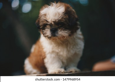 Shih tzu in the forest