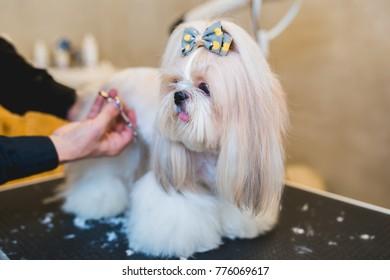 Shih Tzu at grooming salon.