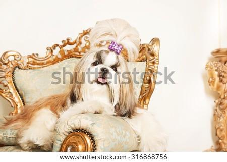 Shih Tzu Long Hair Beautiful Classic Stock Photo Edit Now