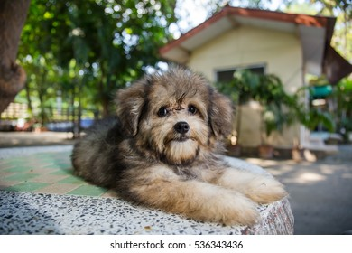 Shih Tzu Mix Pomeranian Puppy Dog Stock Photo Edit Now 535660645