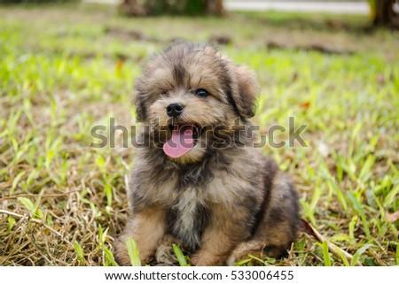 Pomeranian Shih Tzu Mix Puppy