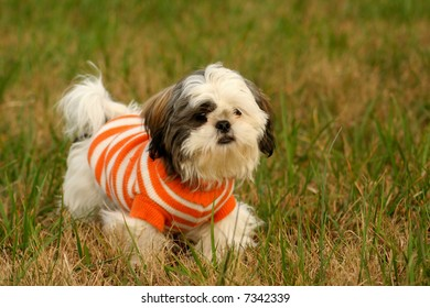 Shih Tzu outside with a sweater on.