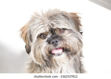 shih tzu pedigree brown and white color with white background. Purebred dog