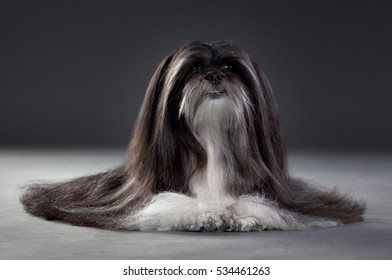 Shih Tzu Portrait in studio