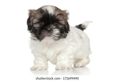 Shih Tzu puppy, 2 months old portrait on white background